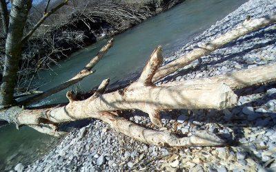 Castors et autres animaux de la rivière Drôme